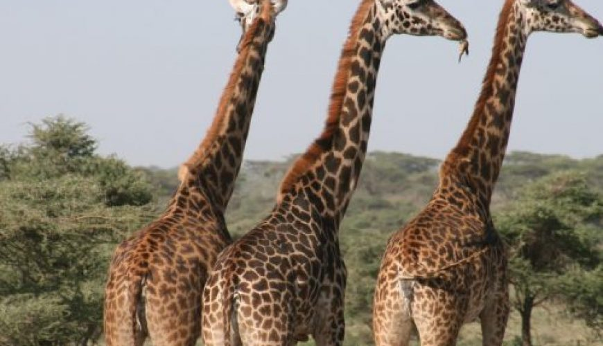 girafles-kenya-voyage